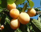 Слива Яхонтовая - перспективный урожайный сорт