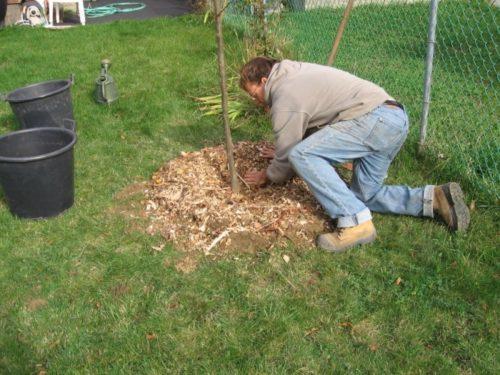 Мульчирование почвы у дерева