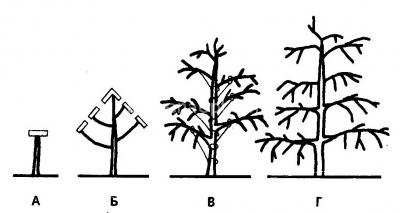 Веретенообразная форма кроны