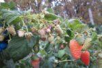 Ветка оранжевой малины