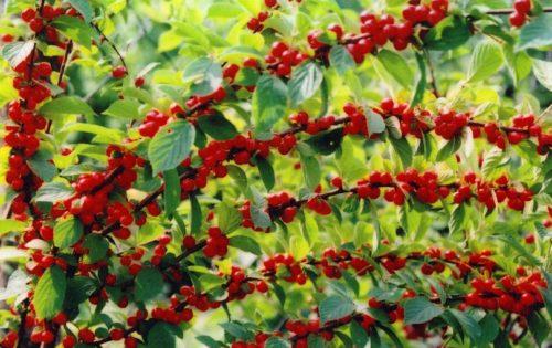 Ветви войлочной вишни в период созревания плодов