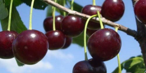 Вишня Шоколадница — плоды