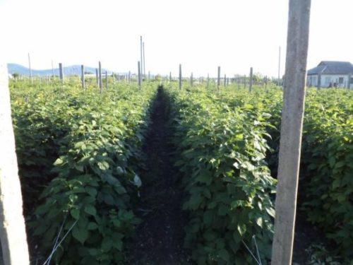 Подвязка малины на плантации