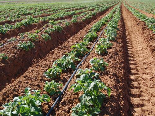 Ваша Удача ждёт вас в огороде — описание одного из  самых урожайных сортов картофеля