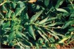 Вирус скручивания листьев