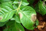 Фитофтороз на листве картофеля