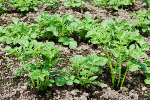 Кусты картофеля
