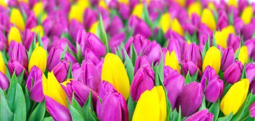 Посадка тюльпанов и гиацинтов осенью