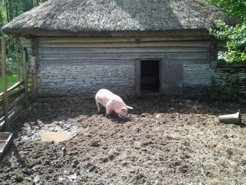 Открытый загон для свиней