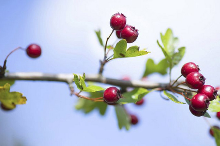 Съедобны ли плоды боярышника