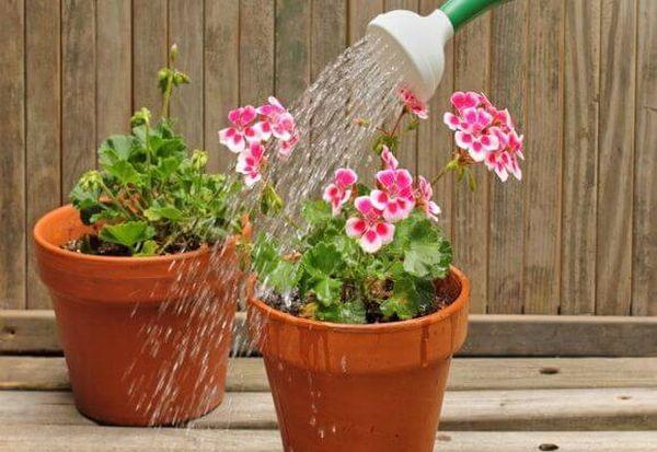 Чем поливать цветы в домашних условиях 157