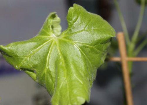 Скрученный лист герани