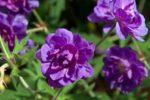 Сорт Plenum Violaceum