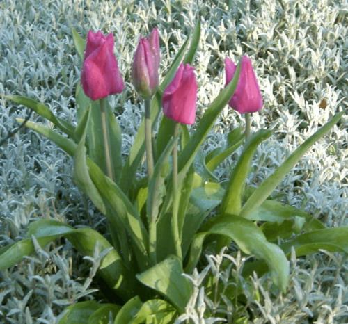 Тюльпаны с церастиумами