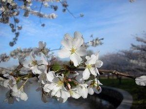 Цветки черешни «Брянская розовая»