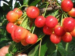 Ягоды черешни Брянская розовая