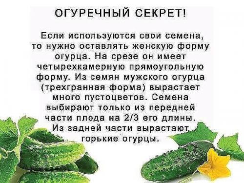 Памятка огороднику, как правильно собрать семена огурца