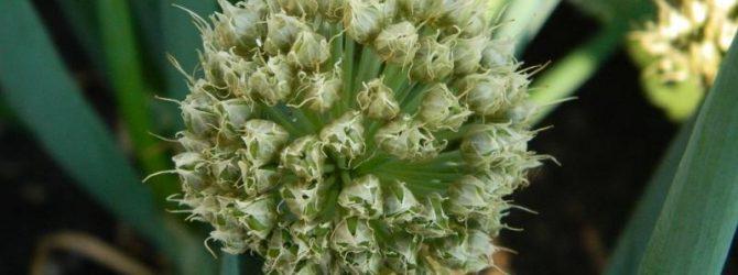 Соцветие лука