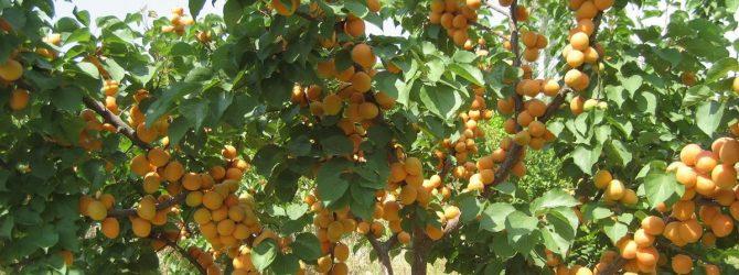 абрикос дерево