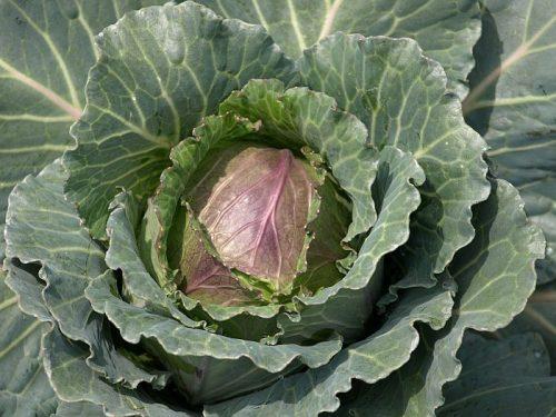 Фиолетовая макушка у капусты