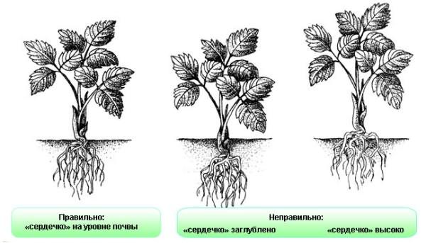 как сажать клубнику осенью пошаговая инструкция