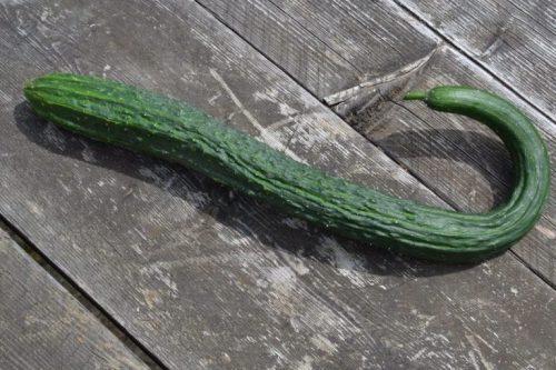 Огурец сорта Китайский змей