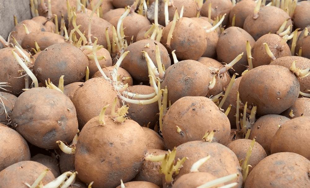 При скольки градусах хранится картошка