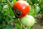 Красный помидор с вершинной гнилью
