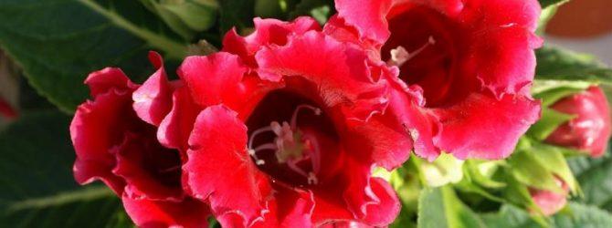 Безудержное цветение глоксинии как будто компенсирует вынужденный простой в период покоя