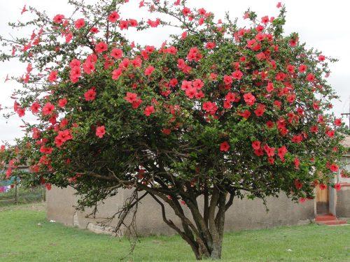 Гибискусовое дерево