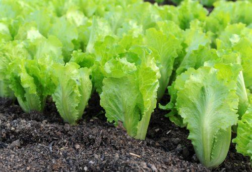 Латук салат на грядке