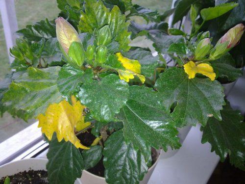 Гибискус с пожелтевшими листьями