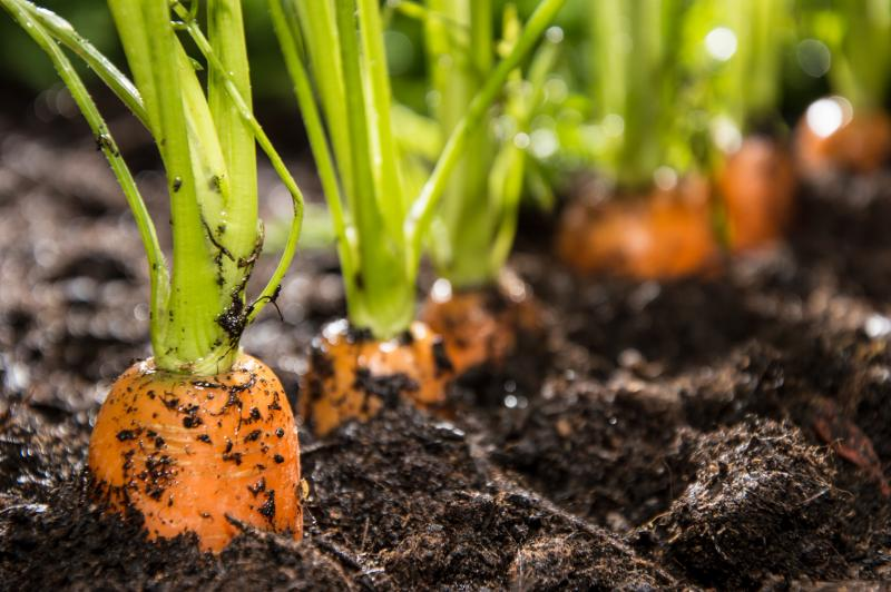 Что садить после моркови на следующий год