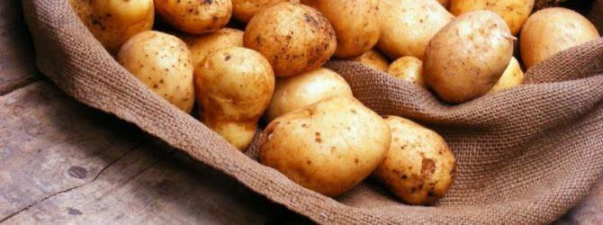 Лучшие сорта картофеля для Урала и Сибири