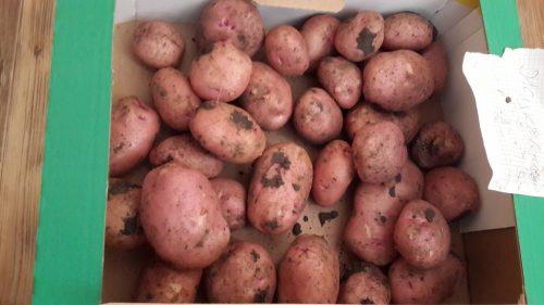 Картофель Мустанг