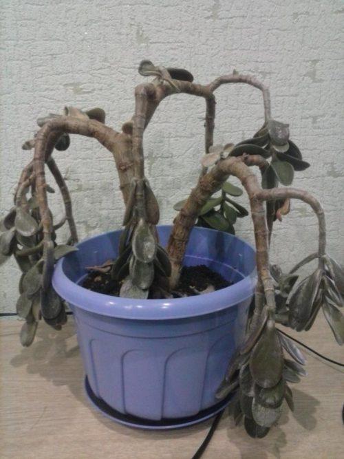 Засохшее денежное дерево