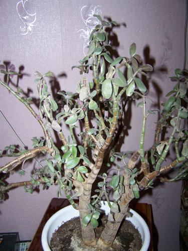 Перекормленное денежное дерево