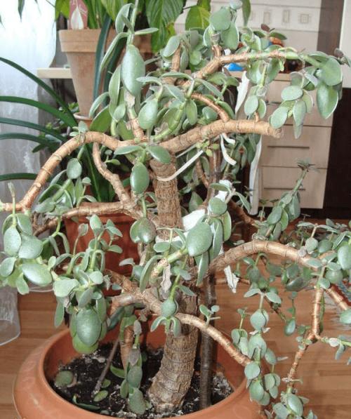 Погибающее денежное дерево