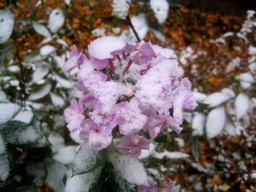 Флоксы в снегу