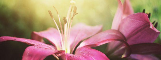Лилии на солнце