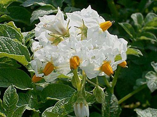 Цветы картофеля