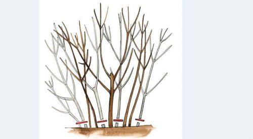 Сухие побеги барбариса, обрезанные «на пень»