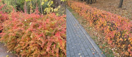Кусты барбариса до и после осенней обрезки