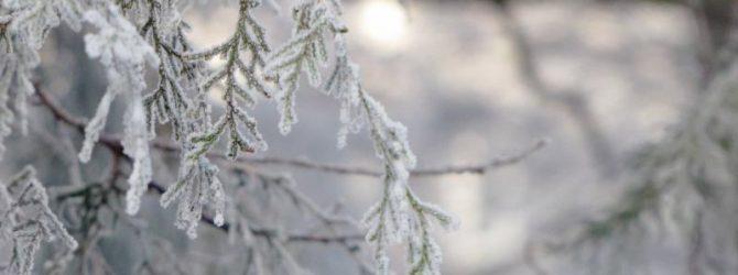 Чем накрывают туи на зиму