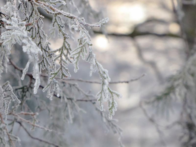 В каком месяце укрывать туи на зиму