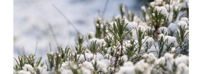 Лаванда под снегом