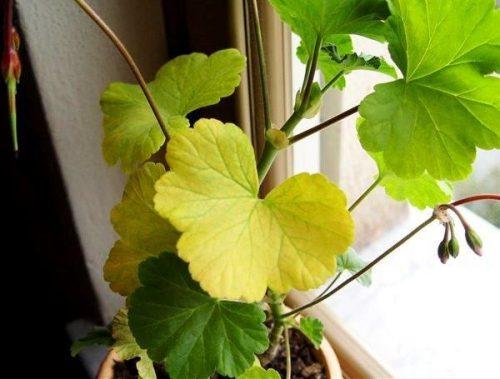 Жёлтые листья у герани