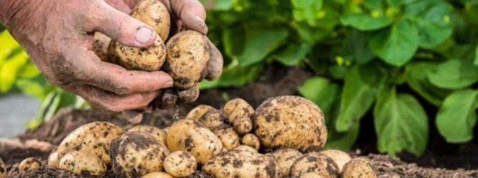 Картофель в поле