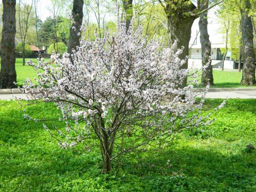 Войлочная вишня в цвету