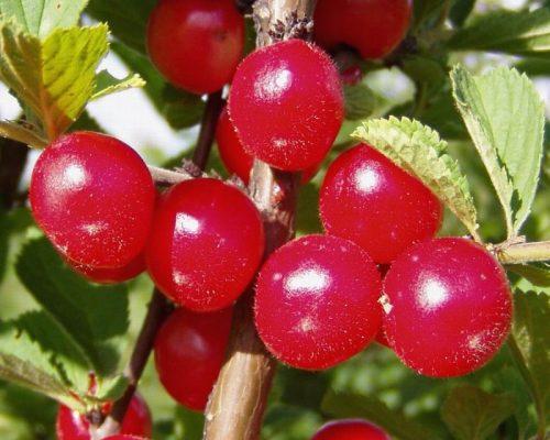 Плоды вишни войлочной